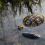 Can (And Do) Box Turtles Swim? (Detailed Guide)